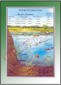 the pond ecosystem Pond ecosystem for kids pond is a large earth depression where water collects it is bit shallow that allows sunlight to penetrate to the bottomnormally these are 12 to 15.